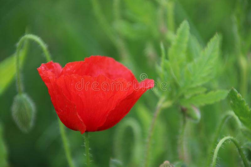 Poppy flowers in red color along the side of the road in the Netherlands.  royalty free stock photos
