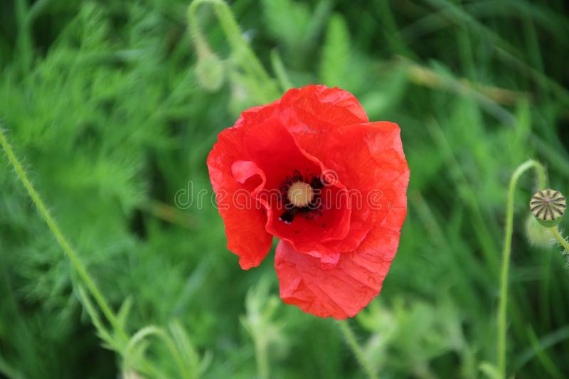 Poppy flowers in red color along the side of the road in the Netherlands.  stock photos