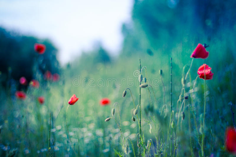 Poppy flowers in sunset, blue background. Poppy field at sunset, bokeh background concept stock image