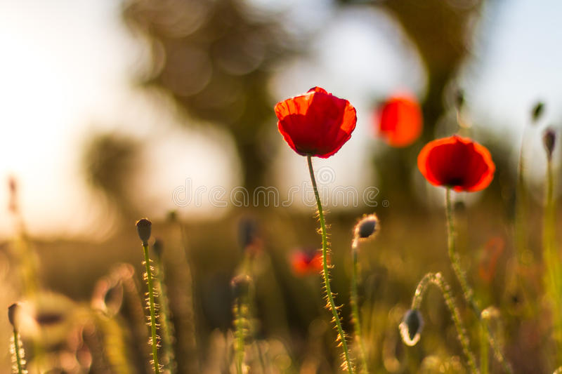 Poppy flowers in sunset. Poppy field at sunset, bokeh background stock photo