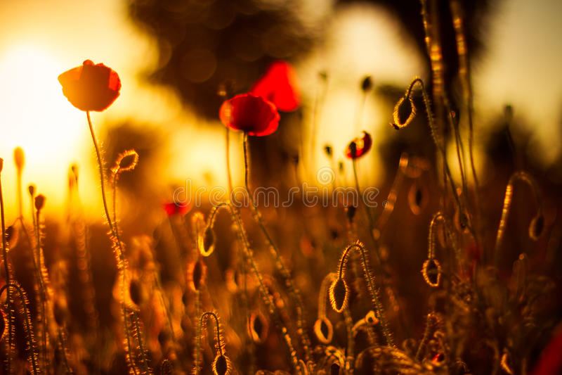 Poppy flowers in sunset. Poppy field at sunset, bokeh background royalty free stock photography