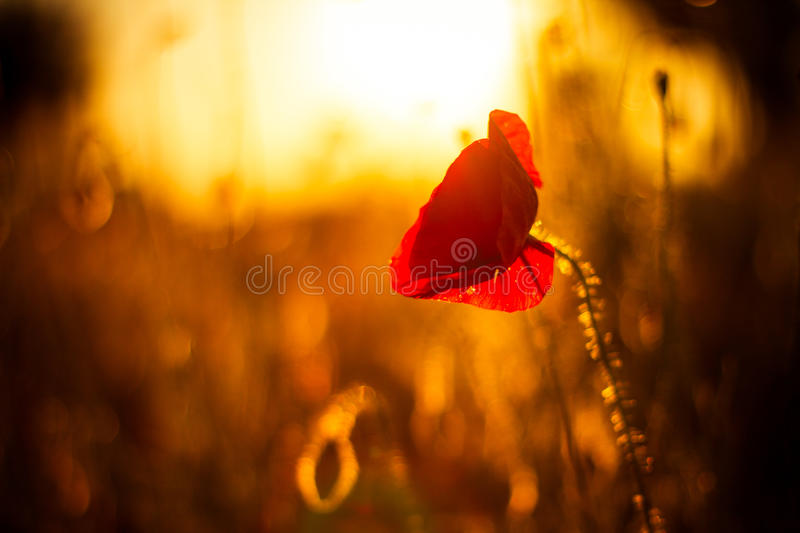 Poppy flowers in sunset. Poppy field at sunset, bokeh background royalty free stock images