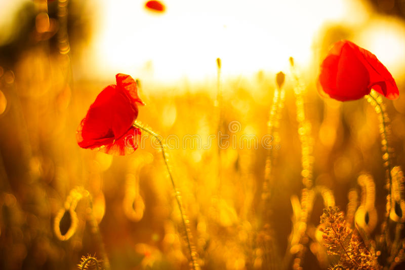 Poppy flowers in sunset. Poppy field at sunset, bokeh background royalty free stock photos