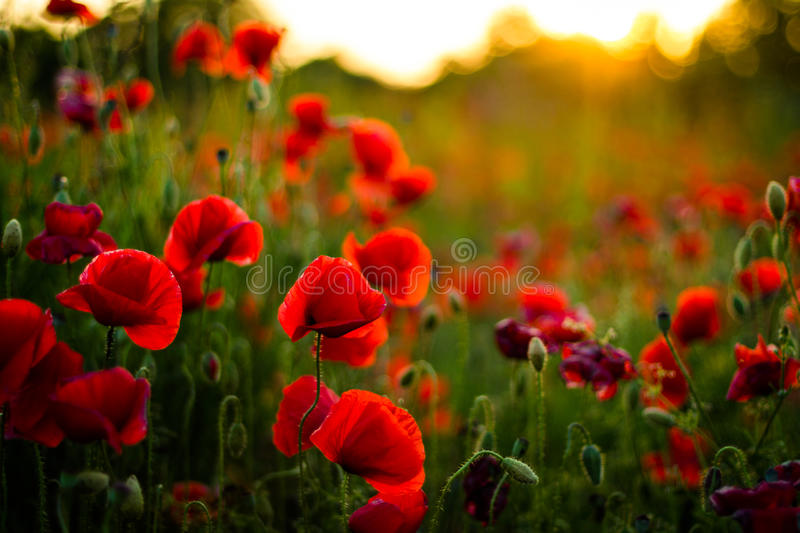 Poppy flowers in sunset, golden background. Poppy field at sunset, bokeh background concept stock photo