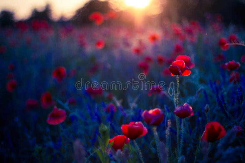 Poppy flowers in sunset, golden background. Poppy field at sunset, bokeh background concept royalty free stock photography