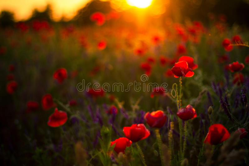 Poppy flowers in sunset, golden background. Poppy field at sunset, bokeh background concept stock images