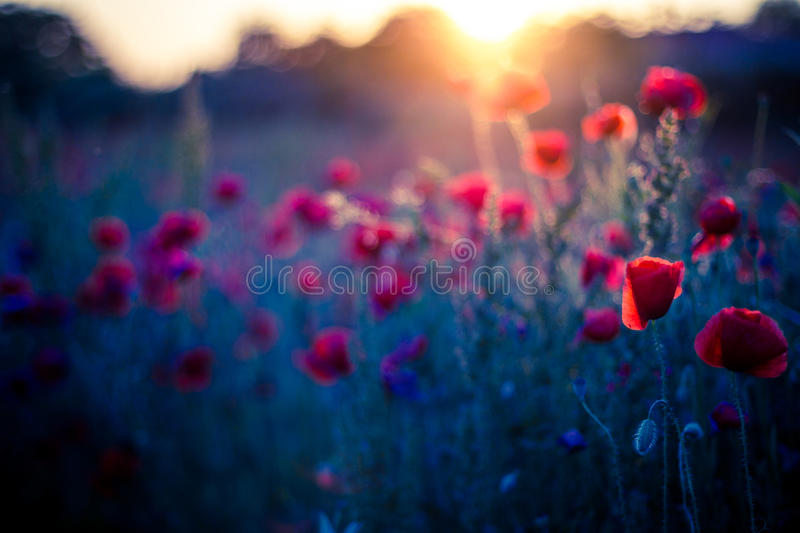 Poppy flowers in sunset, golden background. Poppy field at sunset, bokeh background concept stock image