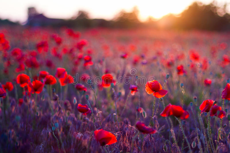 Poppy flowers in sunset, golden background. Poppy field at sunset, bokeh background concept royalty free stock photos