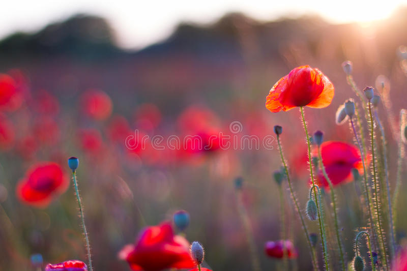 Poppy flowers in sunset, golden background. Poppy field at sunset, bokeh background concept royalty free stock photo