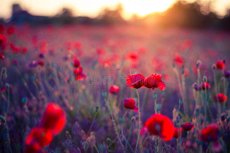 Poppy flowers in sunset, golden background. Poppy field at sunset, bokeh background concept royalty free stock image