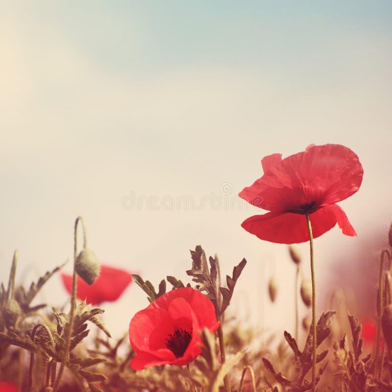 Poppy flowers vintage stylized royalty free stock photos