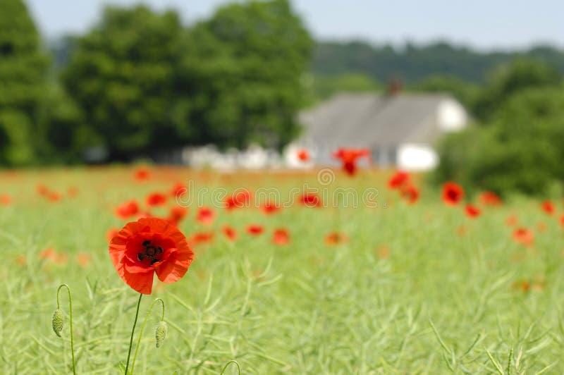 Poppy and framland stock images