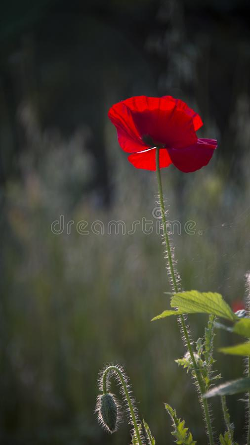 Delicate, red in the garden area.A bright red poppy, attracts bees. Poppy, gentle movements in the breeze. Delicate, red in the garden area. Poppy, textured royalty free stock photo