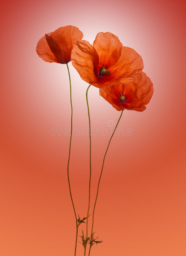 Poppy On Gradient Red Background Royalty Free Stock Photos