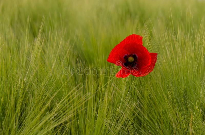 Poppy in grass stock images