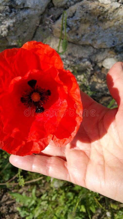 Poppy head and hand. Large wild red poppy head with black stamen centre held in open hand of lady showing palm with multiple lifelines stock photography
