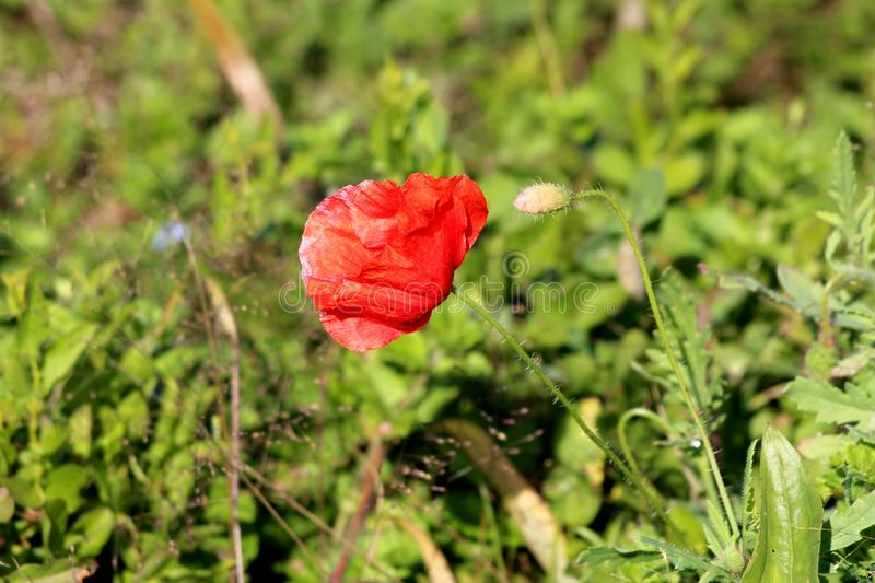 Poppy herbaceous flowering plant with single bright red fully open flower pointing towards sun next to closed flower bud with stock photos
