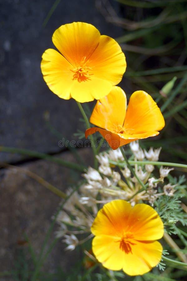 poppy icelandic zdjęcie stock