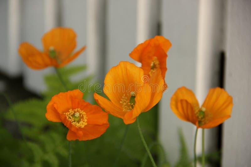 poppy icelandic zdjęcie royalty free