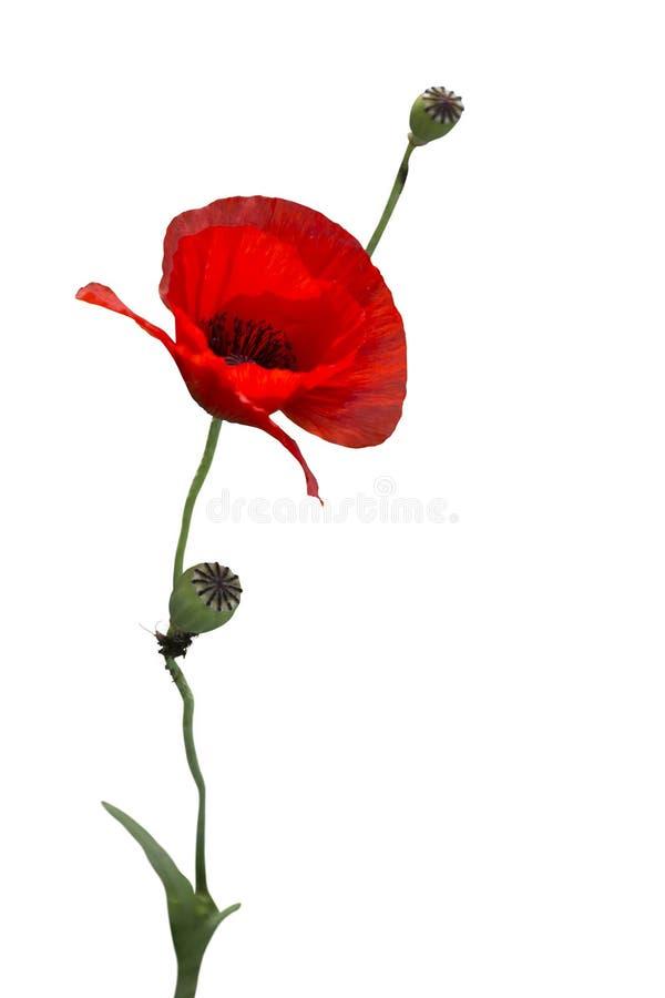 Poppy Isolated roja hermosa foto de archivo libre de regalías