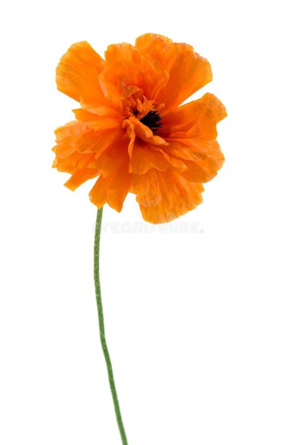 Poppy isolated on white royalty free stock image
