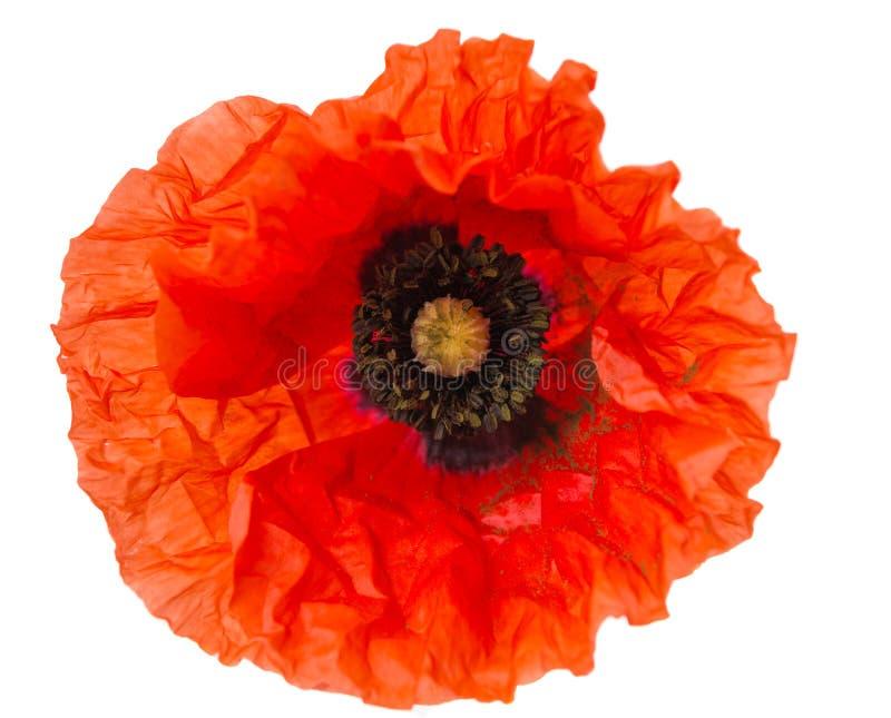 Poppy isolated stock image