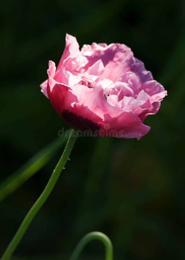 poppy kwiatów fotografia stock