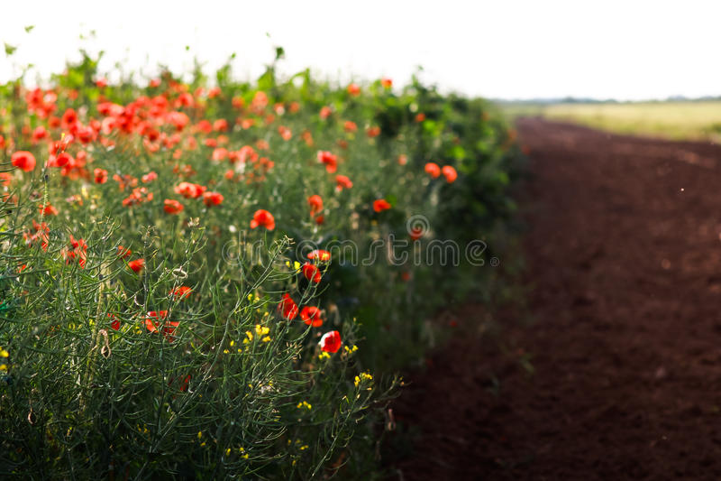 Poppy landscape royalty free stock photography