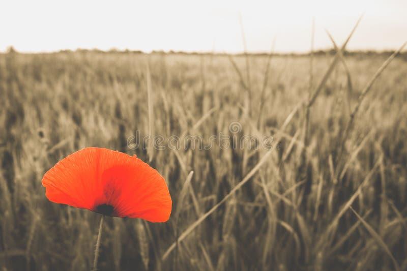 Poppy landscape royalty free stock image