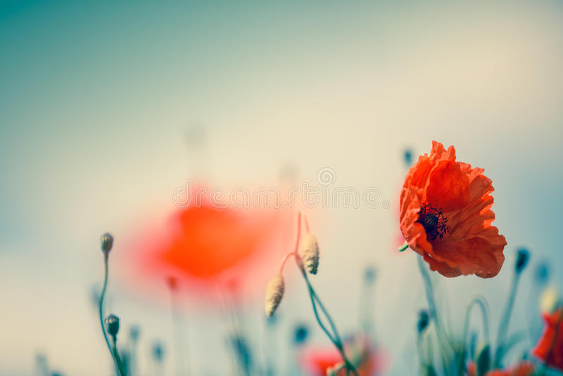 Poppy Meadow imagem de stock royalty free