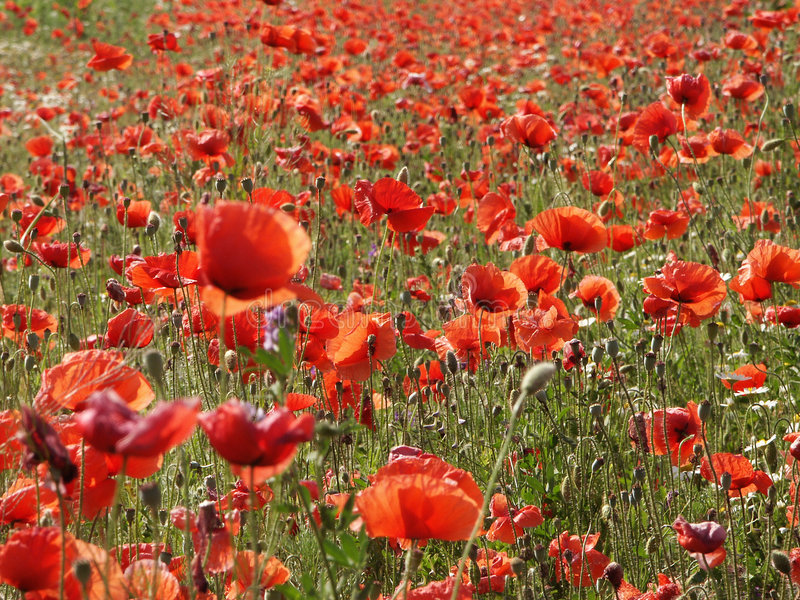 Poppy-meadow stock photography