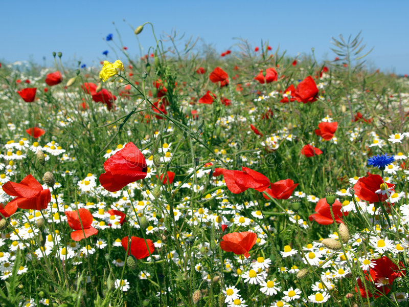 Poppy meadow. Meadow with wild poppy, cornflowers, daisies and other wild flowers royalty free stock image