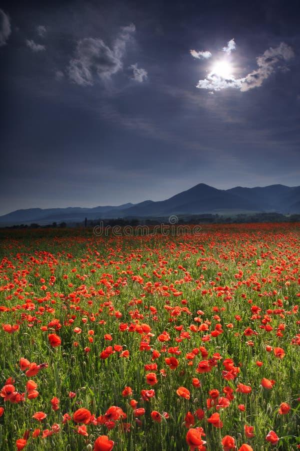 poppy meadow fotografia stock