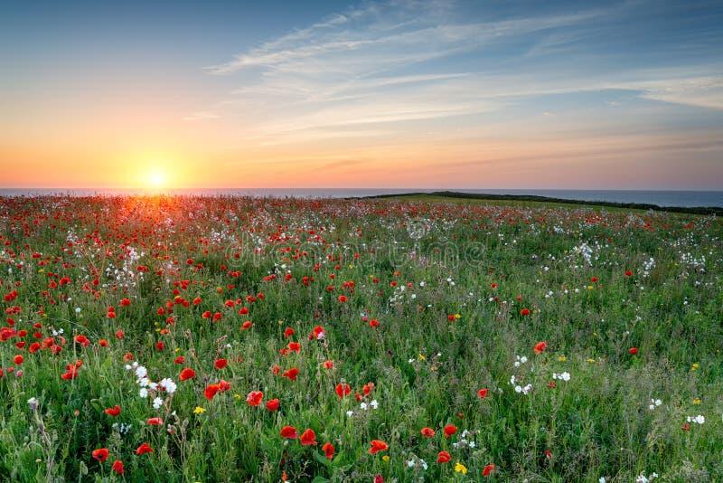 Poppy Meadow på solnedgången royaltyfria foton