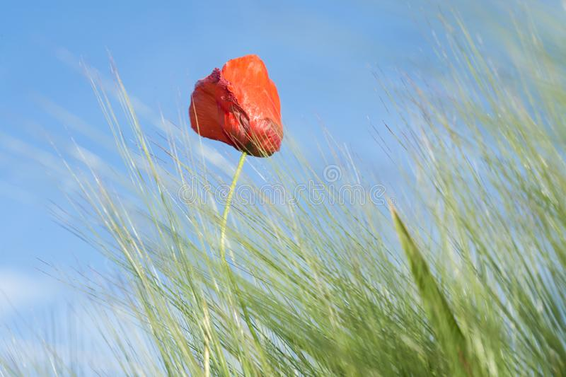 Red Poppy on a medow. Poppy in a meadow on a sunny day of spring royalty free stock photos