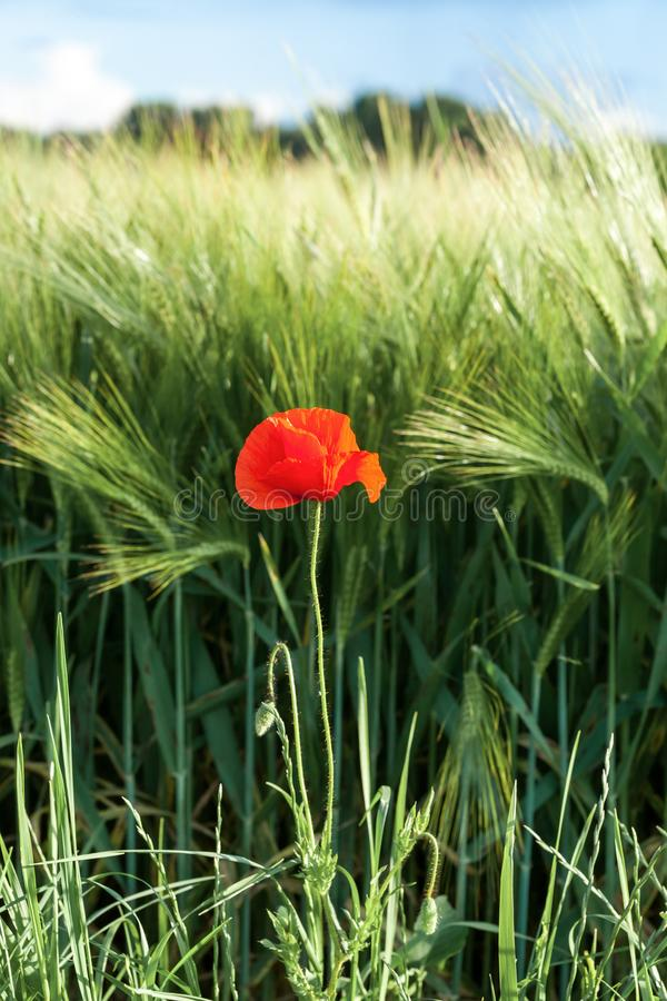 Red Poppy on a medow. Poppy in a meadow on a sunny day of spring royalty free stock image