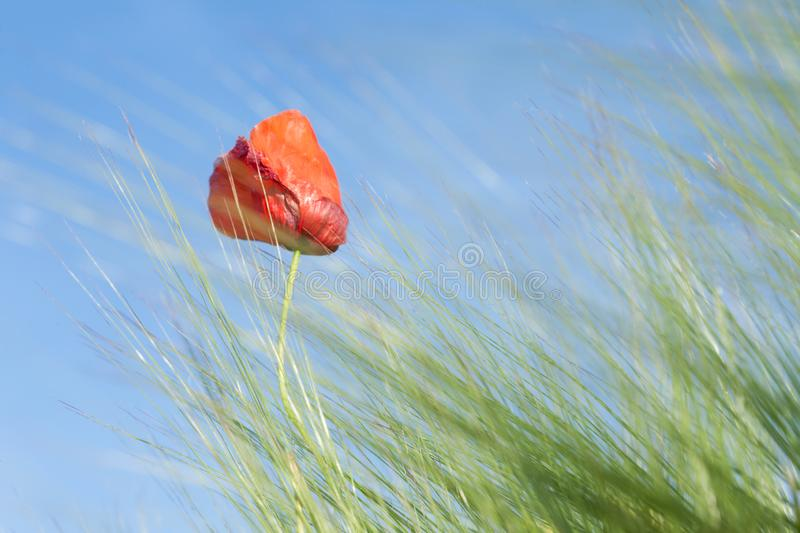 Red Poppy on a medow. Poppy in a meadow on a sunny day of spring royalty free stock photography