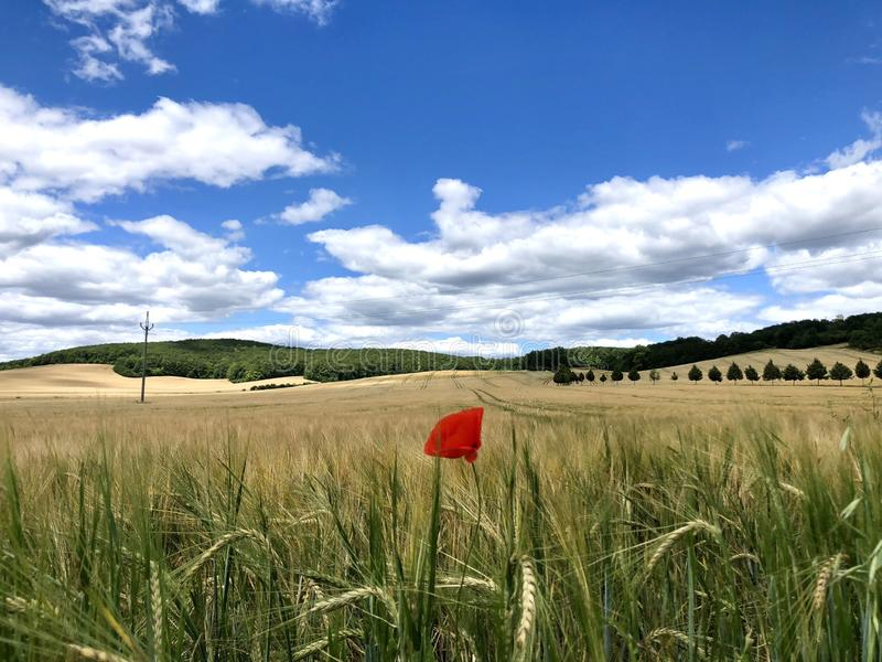 Poppy in the middle of field stock photo