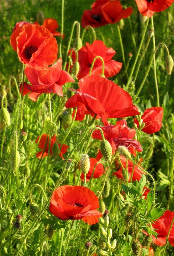 poppy ogrodowego lato obrazy royalty free