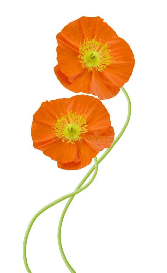 Poppy (orange) flowers. Isolated on white background stock photos