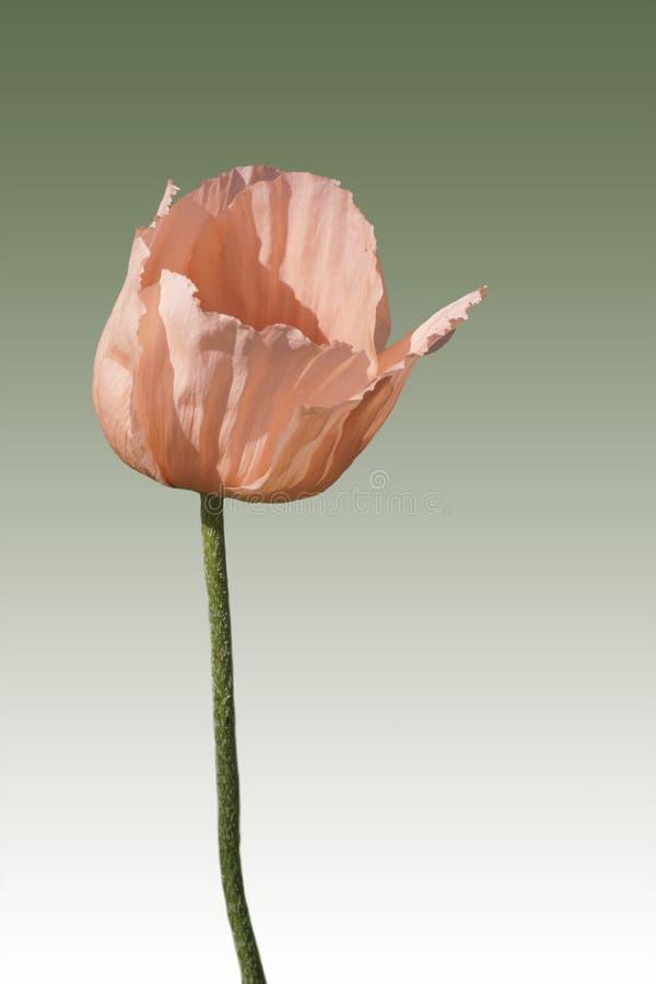 poppy orientalny zdjęcia stock