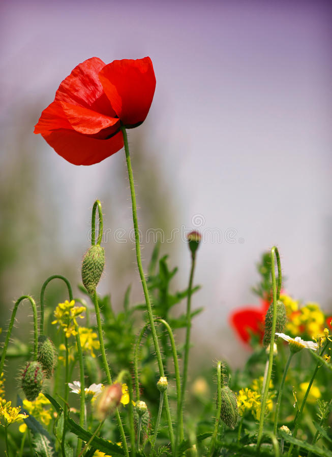 Download Poppy patch stock image. Image of scene, rural, green - 14873613