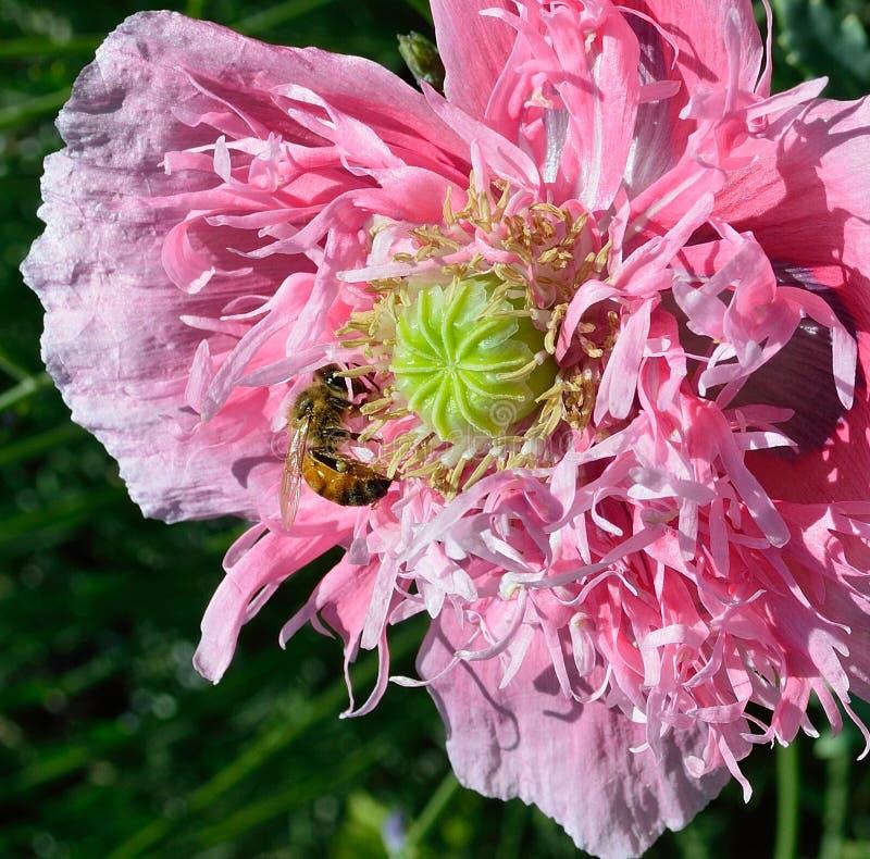 Poppy peony with a bee gathering nectar closeup stock photo