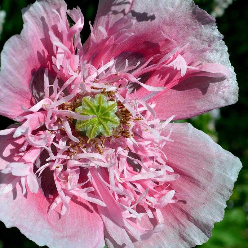 Poppy peony - lettuce leaf poppies royalty free stock photo