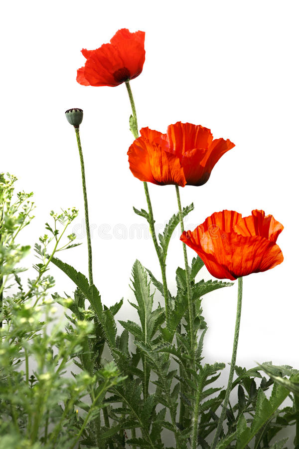 Download Poppy Plant stock photo. Image of flower, natural, plant - 28271164