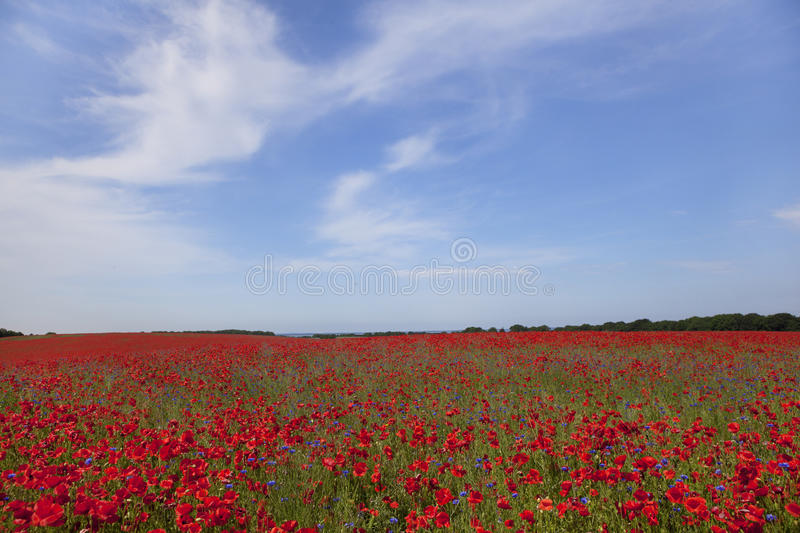 Poppy plants on field royalty free stock image