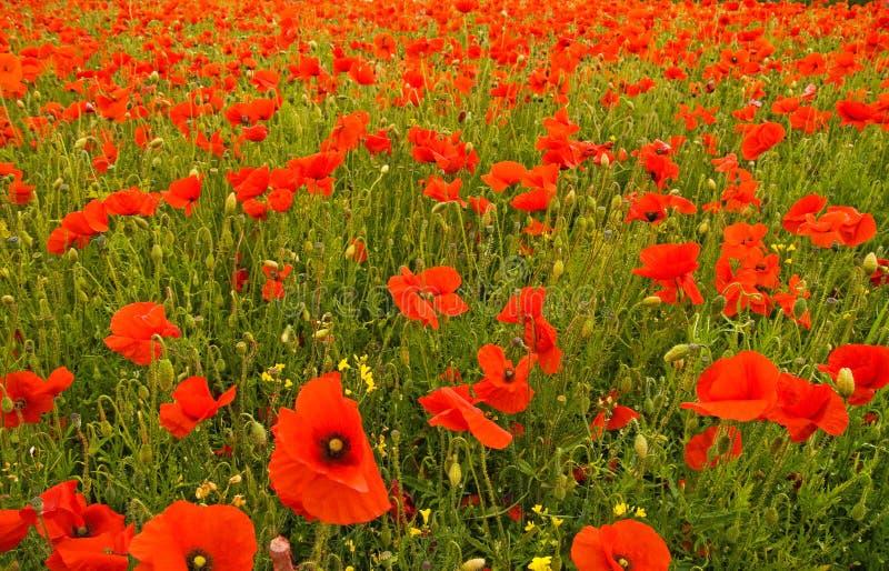 poppy pola fotografia stock