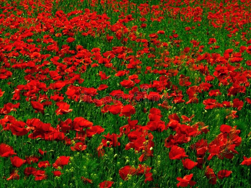 Download Poppy pole zdjęcie stock. Obraz złożonej z dużo, maczek - 28838