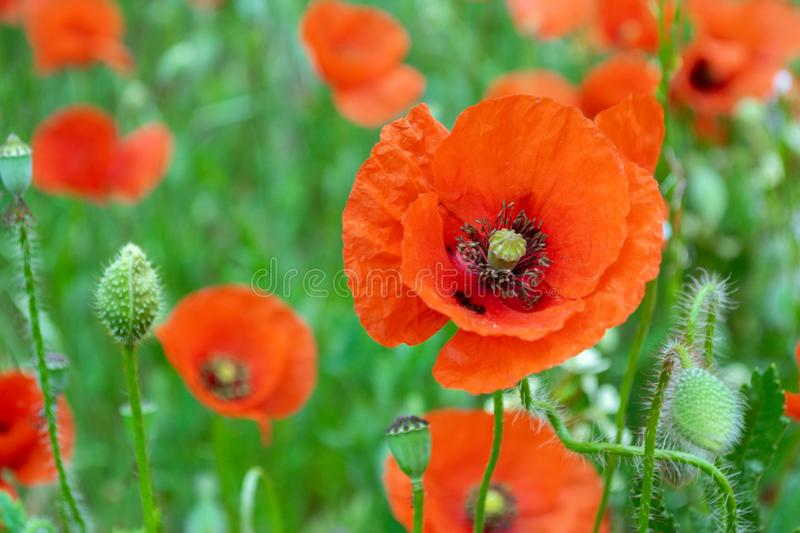 Poppy among poppies royalty free stock photography