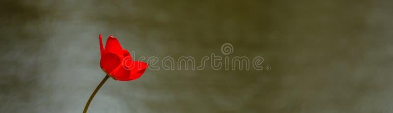 Poppy. Red poppy on a background of lake stock photo